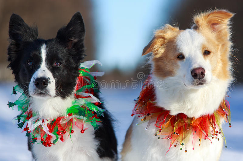Download Two Dogs stock photo. Image of snow, collies, animal - 30039934