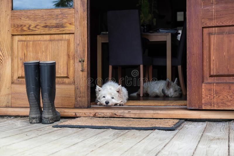 Two bored westies inside a farmhouse, laying on the floor by a d stock images