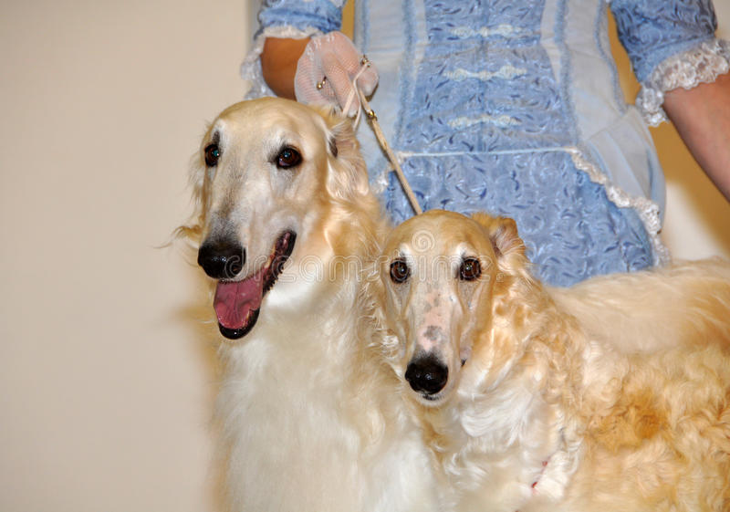 Download Two borzoi dogs stock photo. Image of tongue, offspring - 39513450