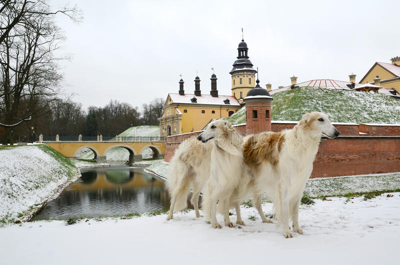 Two borzoi dogs in winter park stock photo