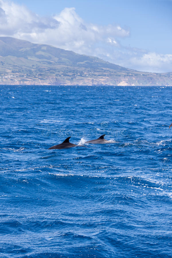 Two Bottle-nosed Dolphins in front of Coast of Sao Miguel, Azores royalty free stock image