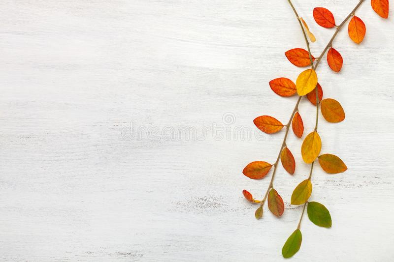 Two branches with colorful autumn leaves on a white shabby wooden background. Flat lay.  stock photo