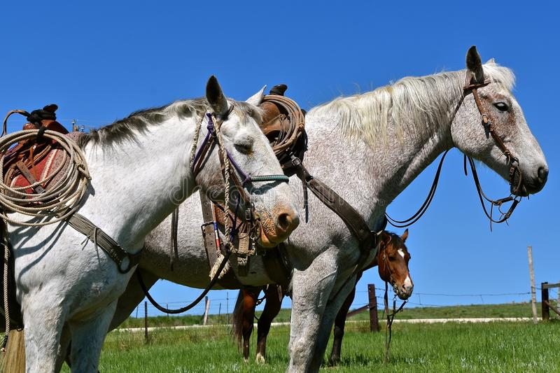 Two bridled and saddled white horses stand together at a roundup. And branding session in the prairies of South Dakota stock photography