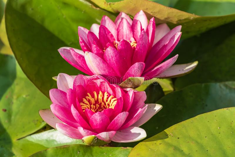 Two bright blooming pink water lilies among green leaves.  It is an excellent permanent residents of water gardens. Warm summer sunny day. Colorful summer royalty free stock photos