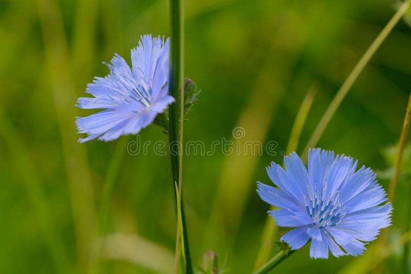 Two bright blue chicory flowers royalty free stock photo