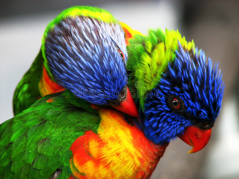 Two bright colored birds. Two loving colorful birds playing around