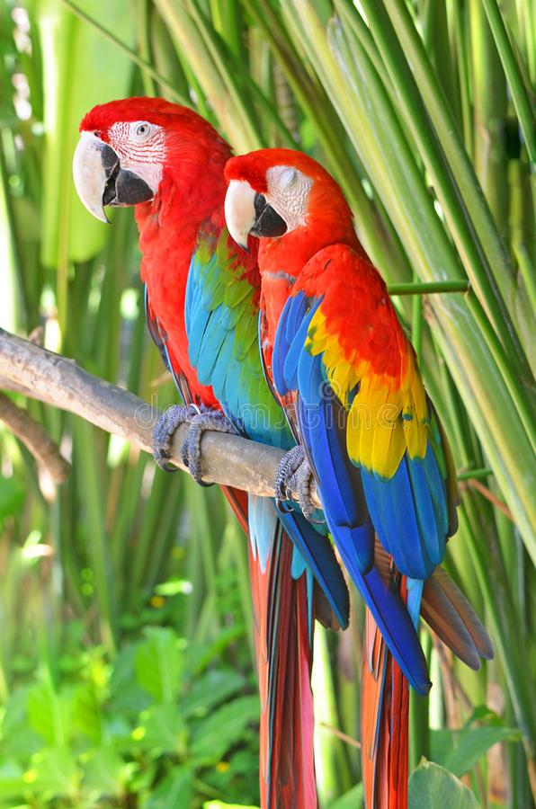 Two bright parrots Ara in the jungle. Two bright parrots Ara in the jungle royalty free stock photography