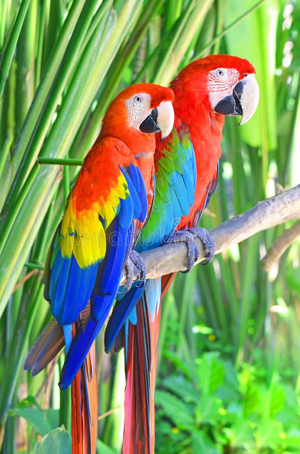 Two bright parrots Ara sitting on a tree branch in the jungle. Two bright parrots Ara sitting on a tree branch in the jungle stock image