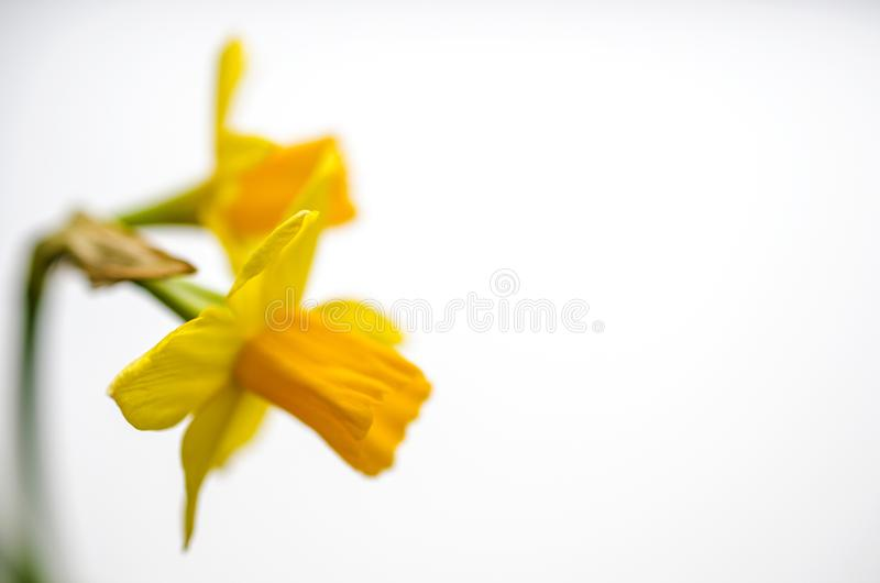 Two bright yellow daffodil flowers royalty free stock photos