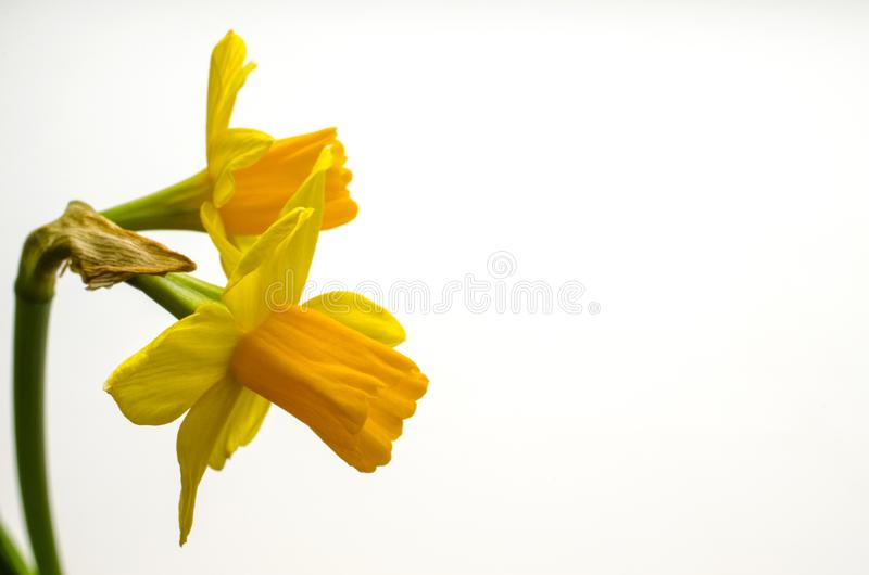 Two bright yellow daffodil flowers royalty free stock photography
