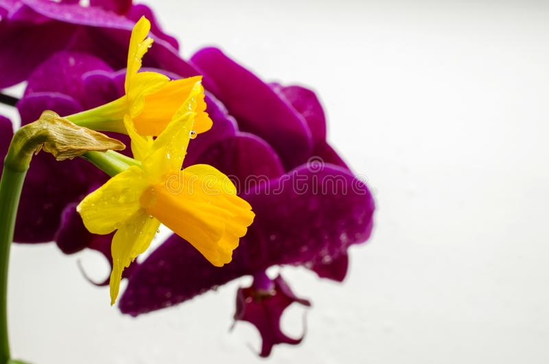 Two bright yellow flowers of daffodils on a background of purple orchids royalty free stock photos