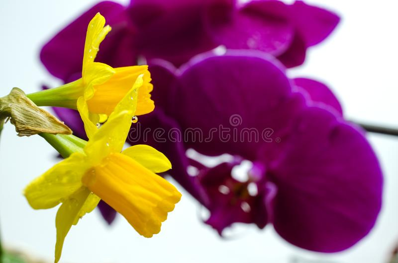 Two bright yellow flowers of daffodils on a background of purple orchids royalty free stock photo