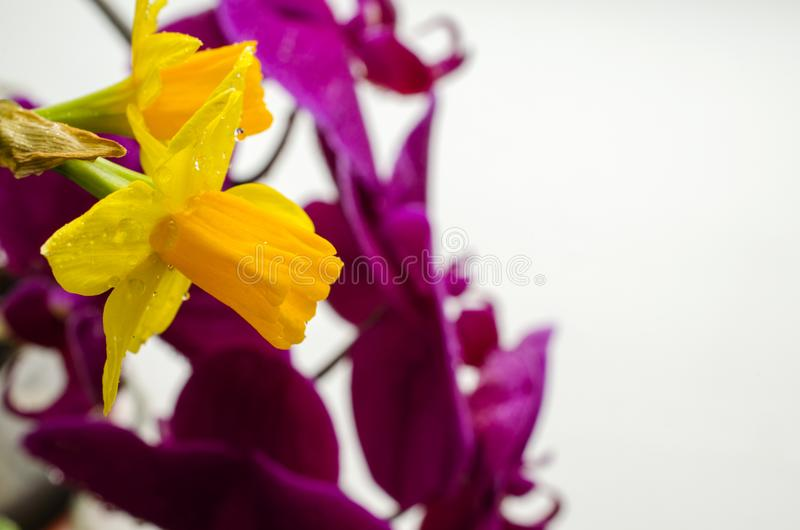 Two bright yellow flowers of daffodils on a background of purple orchids stock photos