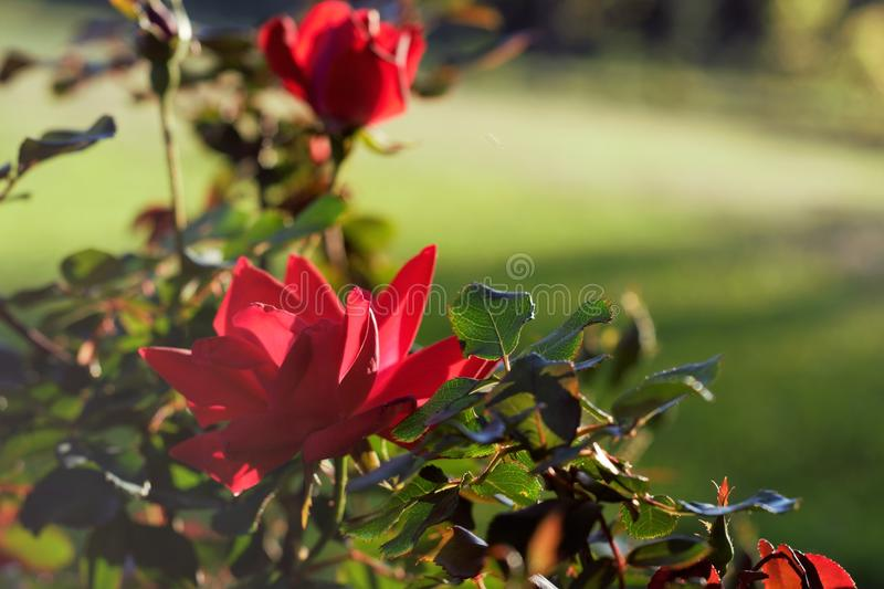 Two Brilliant Red Summer Roses stock photos