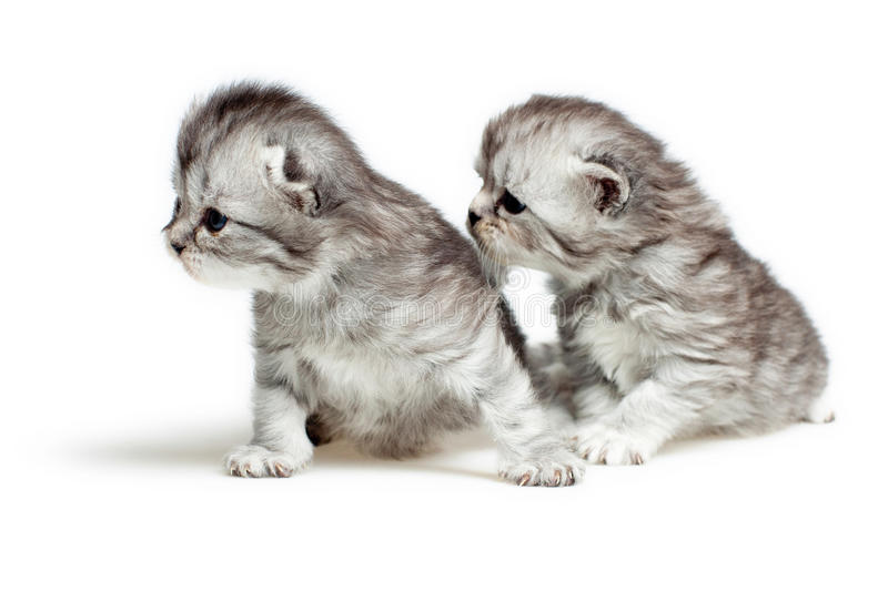Two British breed kittens