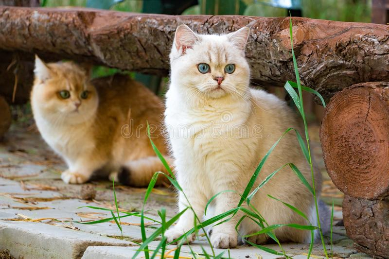 Two British cats sit in the backyard garden under a log bench stock photo