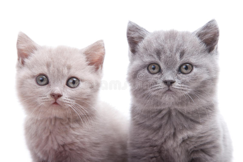 Download Two British kittens stock image. Image of pink, pale - 21286031