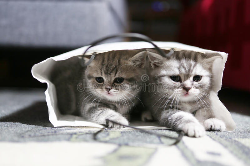 Two British Shorthair babies in a bag stock image