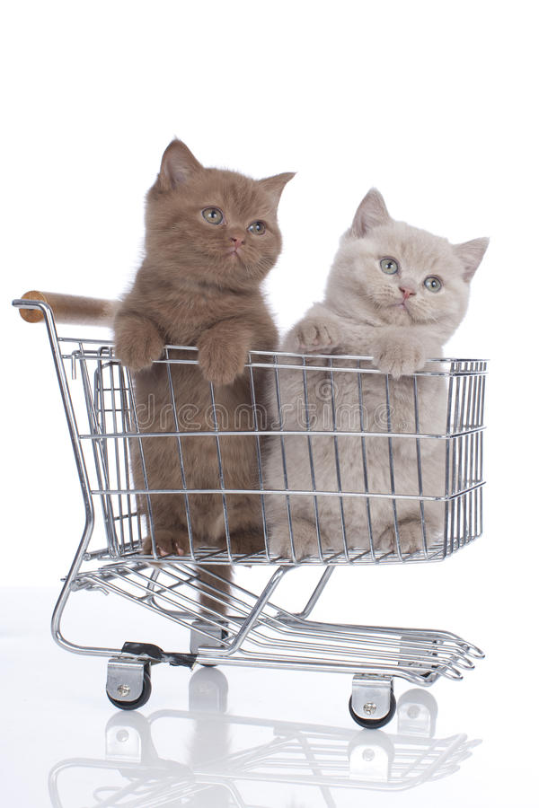 Two british shorthair kitten in a shopping cart stock photography