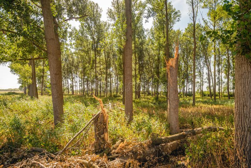 Two broken trees in a forest. In the Netherlands. The trees have been broken down by a violent thunderbolt royalty free stock photography