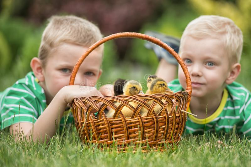 Two brothers playing on the lawn with young ducklings. royalty free stock image