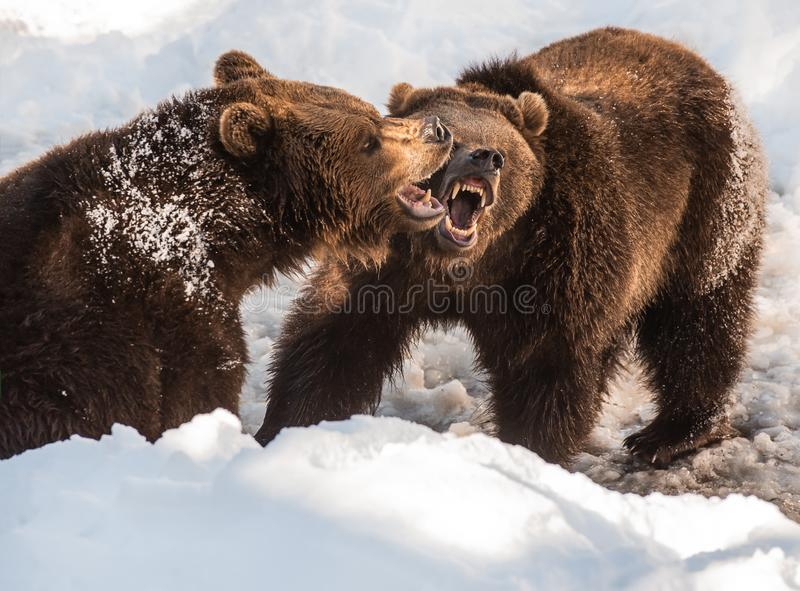 Two brown bears fighting in the snow in winter - National Park Bavarian Forest royalty free stock image