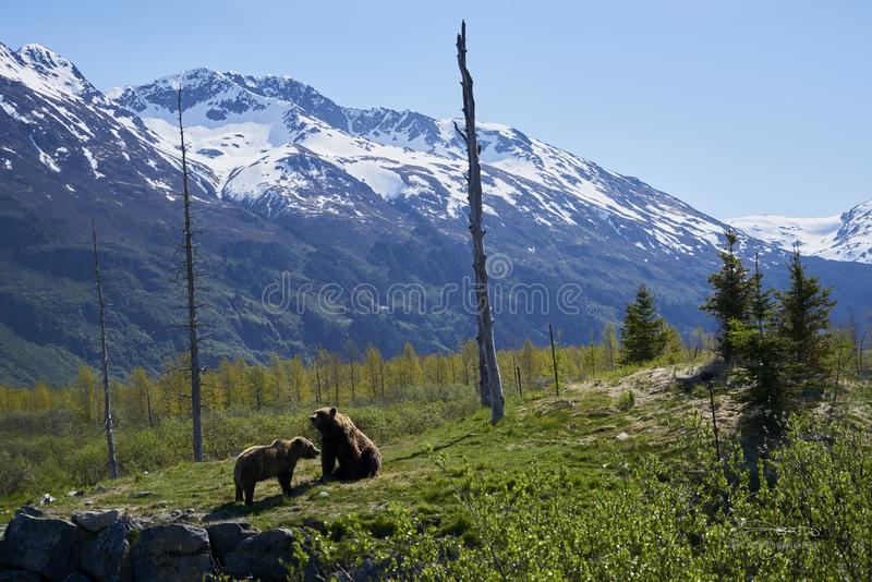 Two Brown Bears on Grass Field stock photography