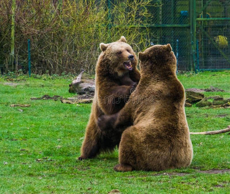Two brown bears playing with each other, playful animal behavior, common animals of Eurasia. Two brown bears playing with each other, playful animal behavior stock photography