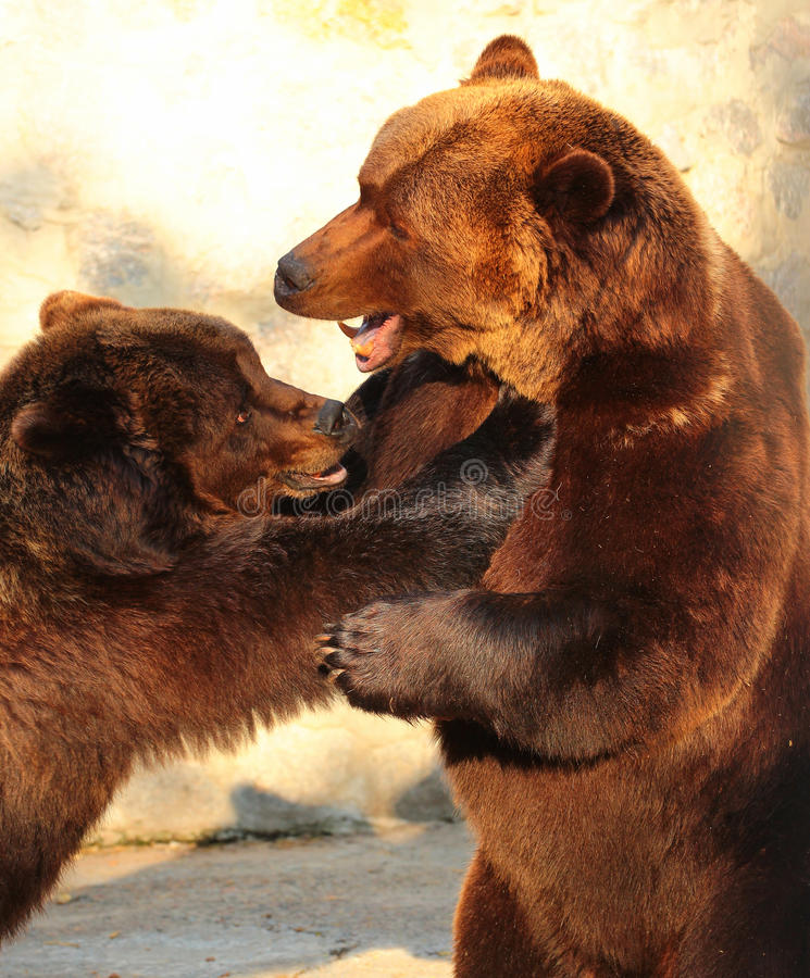 Two brown bears (Ursus arctos) playing in a zoo royalty free stock images