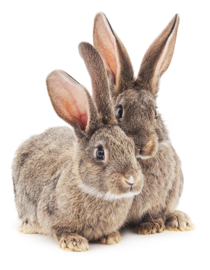 Two brown bunnies. Two brown bunnies on a white background stock image