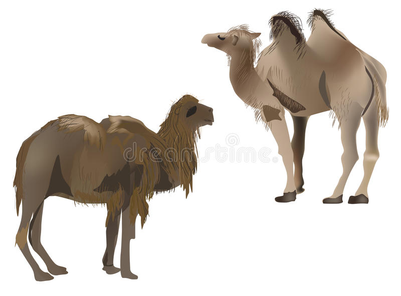 Two brown camels isolated on white vector illustration