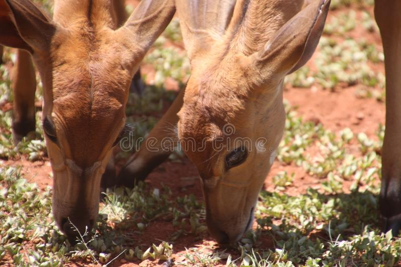 Two Brown Deers Eating Grass royalty free stock photos