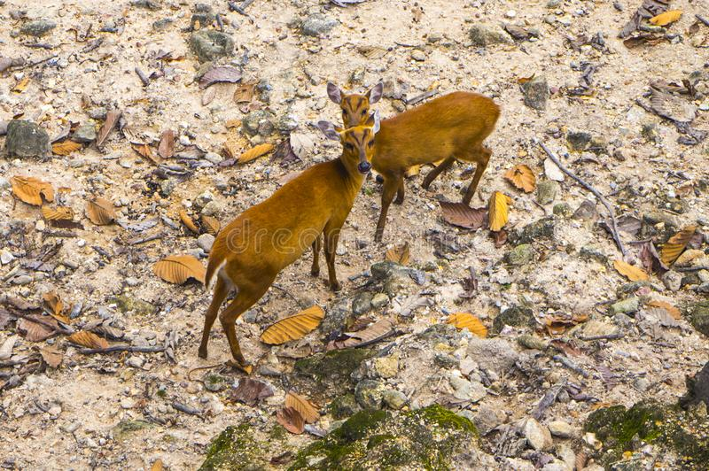 Two brown deers in the stock photos