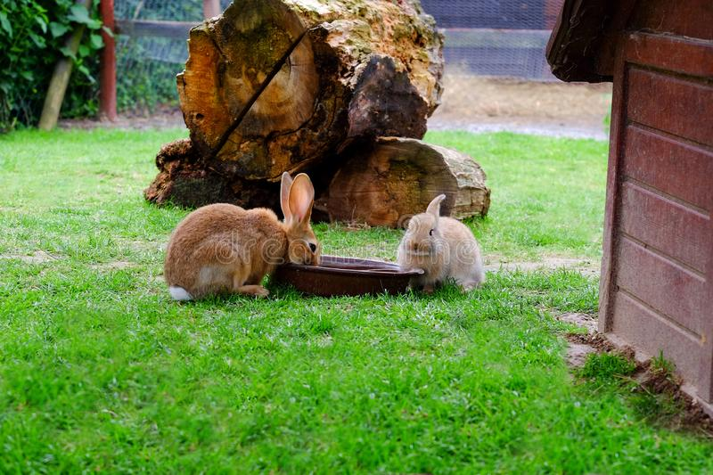 Two brown rabbits drinking water in the garden royalty free stock photo