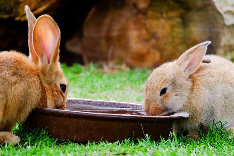 Two brown rabbits drinking water in the garden. Two brown domestic rabbits drinking water from a bowl on the green grass, hare, bunny, animal, pet, beige, mammal royalty free stock photography