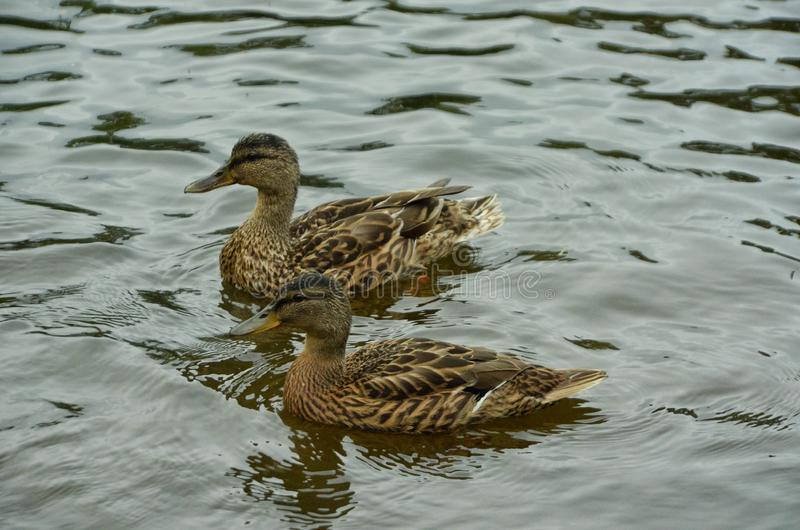 Two brown ducks or quacks swim across a calm lake. Moving in one direction. A bird from the family Anatidae of the order Anseriformes. The most famous and royalty free stock photo