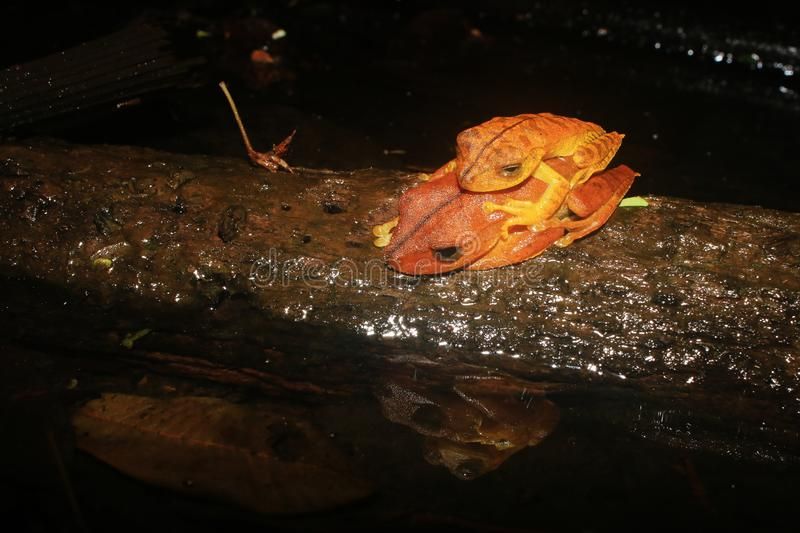 Two brown frogs sleeping on top of eachother and mirrored in the water stock photography