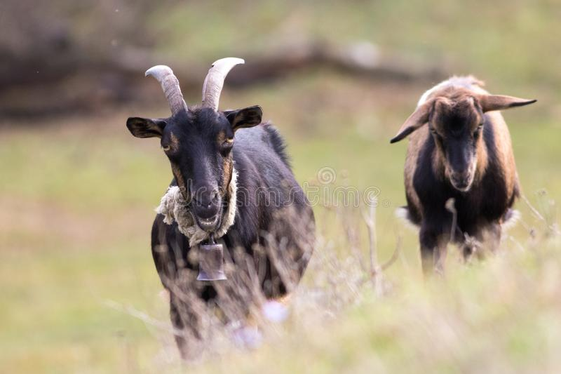 Two brown goats one with bell royalty free stock photography