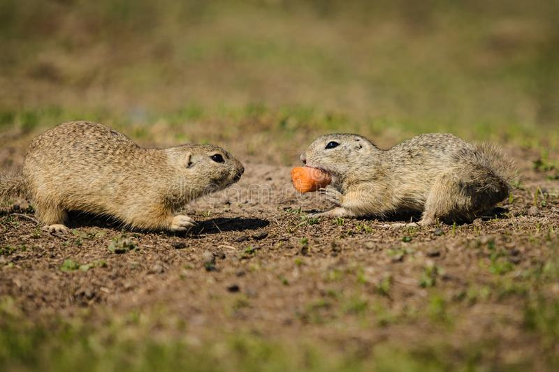 Two brown ground squirrels fighting over a piece of orange carrot stock images