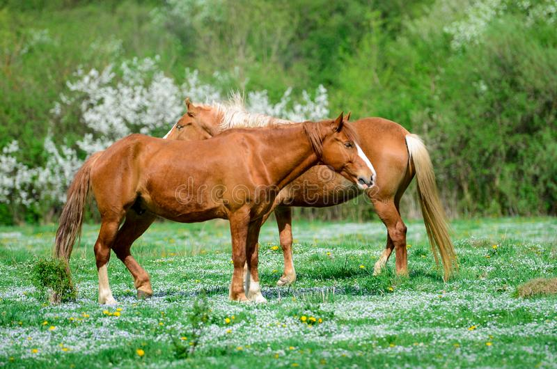 Two Brown horses stand on a green flower meadow amid the green forests and are looking in opposite directions and drowse stock photos