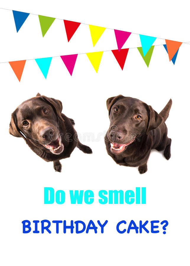 Two brown labrador retriever dog looking up with text do we smell birthday cake on a birthday card stock photos