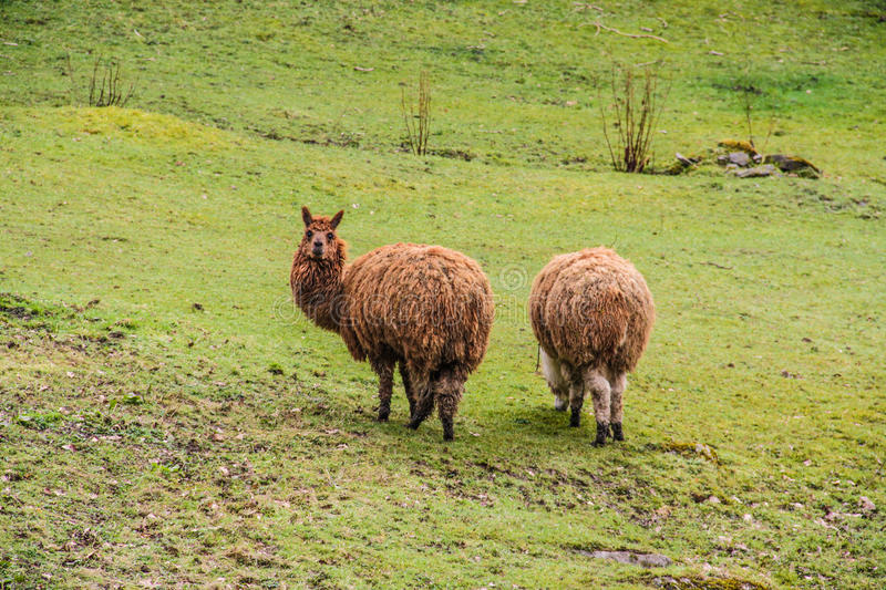 Download Two Brown lama stock image. Image of outdoor, field, lama - 83708285