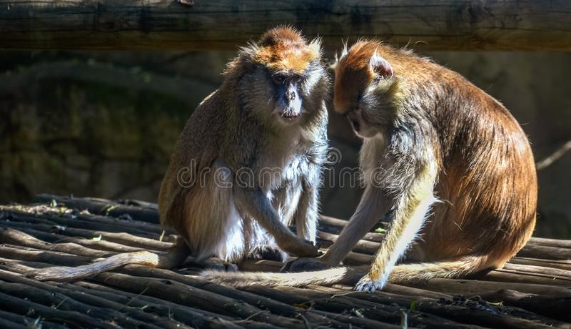 Two brown monkeys grooming each other in the sun στοκ φωτογραφίες