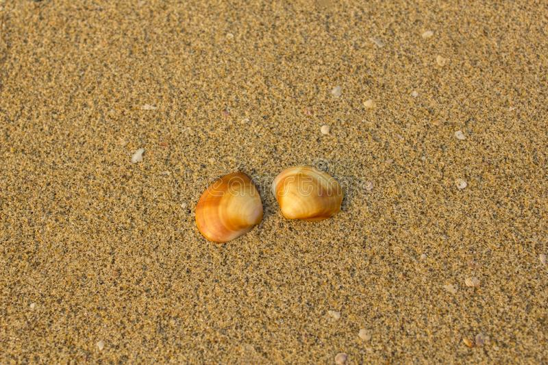 Two brown orange shells close-up on a blurry background of yellow sand with small white shells stock photo