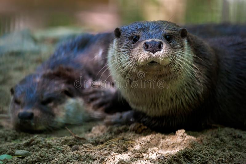 Two brown otters. A close-up will erase two brown otters on the shore near the river, one is asleep, and the second blubber looks into the camera royalty free stock photography