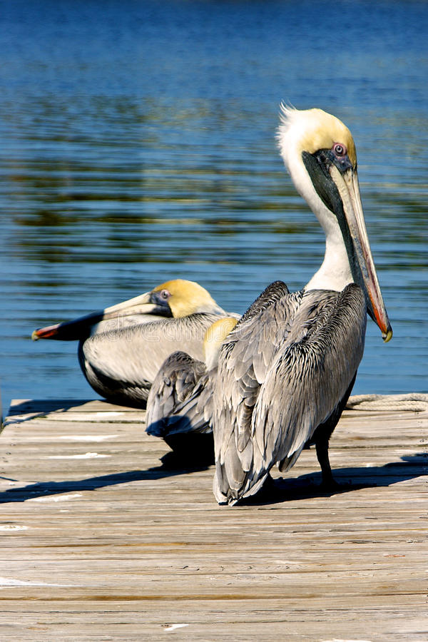 Download Two brown pelicans on dock stock image. Image of long - 13544209