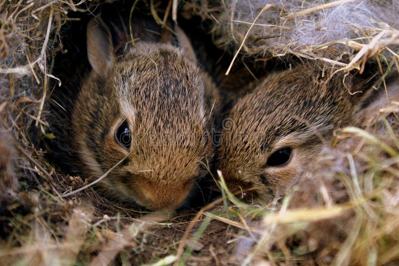 Two Brown Rabbits stock photos