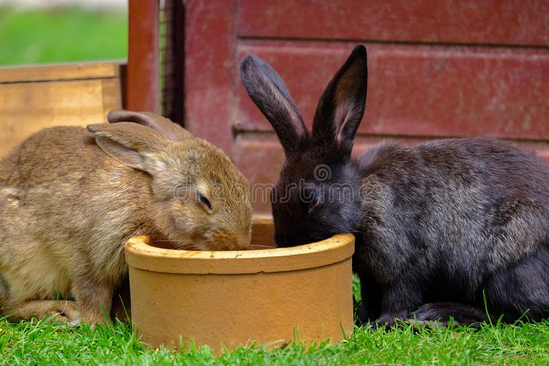 Two brown rabbits drinking water in the garden. Two brown domestic rabbits drinking water from a bowl on the green grass, hare, bunny, animal, pet, black, beige stock image