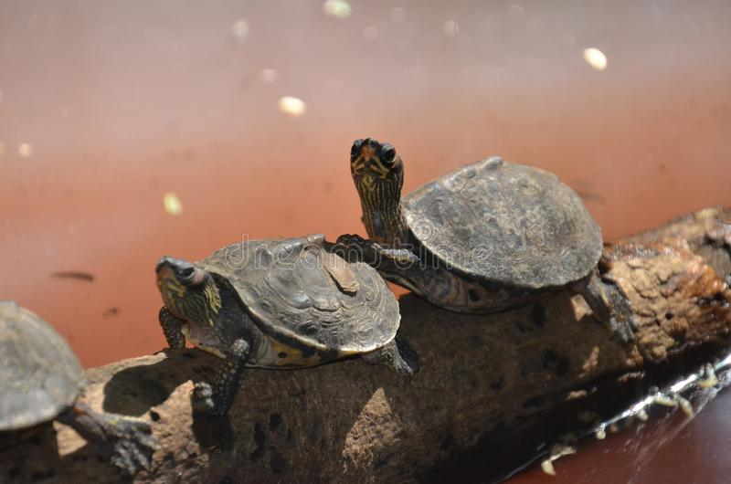 Two Brown Sea Turtle on Tree Branch stock images
