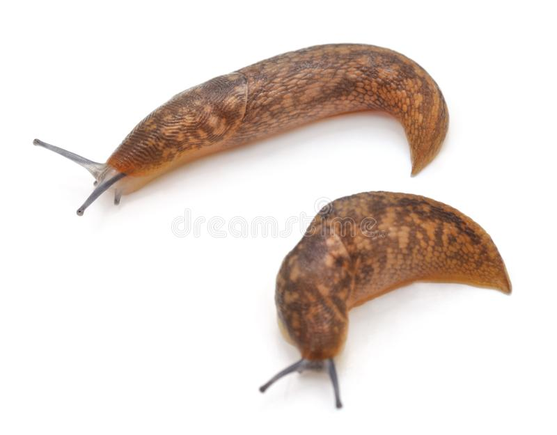 Two brown snails. royalty free stock photo